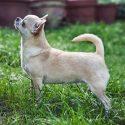 Catelusi Pui Chihuahua nascuti pe 3 Ianuarie 2019