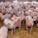 ferma porci germania